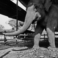notworkrelated chiang mai elephants 02