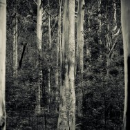 notworkrelated_australia_blue_gum_forest_02